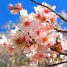 Wild Almond Seed (Prunus scoparia - Amygdalus scoparia) 10 Fresh Seeds