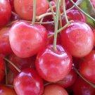 PINK CHERRY TREE 20 FRESH SEEDS