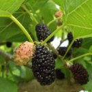 BLACK MULBERRY 2 VARIETY (SOUR - SWEET) 100 FRESH SEEDS