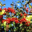 Black Bryony (Tamus communis L.) 20 Fresh Seeds