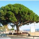 Stone Pine (Pinus pinea) 10 Fresh Seeds