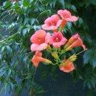 Trumpet Vine (Campsis radicans) 50 ++ Fresh Seeds