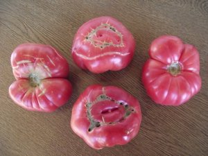 PINK TOMATOES 30 FRESH SEEDS