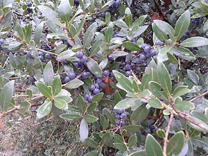 GREEN OLIVE TREE (Phillyrea latifolia) 100 FRESH SEEDS