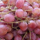 DAMASCUS GRAPES 25 FRESH SEEDS