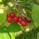 Cornelian Cherry - European Cornel (Cornus Mas) 20 Fresh Seeds