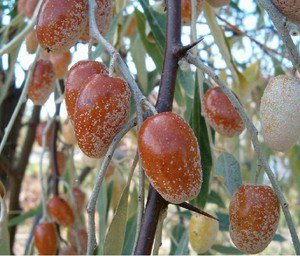 Russian Olive (Elaeagnus angustifolia) 20 ++ Fresh Seeds