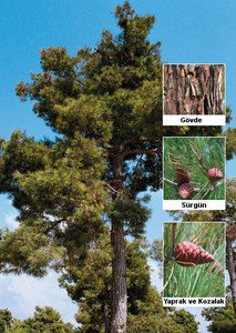Turkish Pine-Calabrian Pine (Pinus brutia) 25 Fresh Seeds