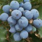 Oregon Holly Grape (Mahonia aquifolium) 50 Fresh Seeds
