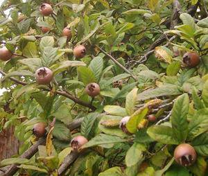 MEDLAR TREE 20 FRESH SEEDS (Mespilus germanica )
