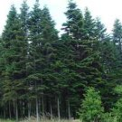 Normand Fir - Christmas tree (Abies nordmanniana bornmulleriana) 20 Fresh Seeds
