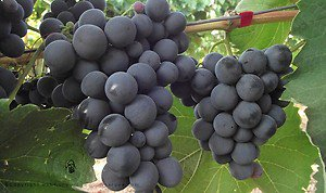 ALPHONSE LAVALLEE GRAPES 20 FRESH SEEDS