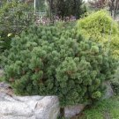 Mugo Pine (Pinus mugo) Dwarf Mugo Pine 50 Fresh Seeds