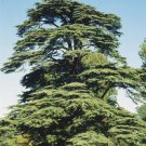 Turkish Cedar (Cedrus libani var. stenocoma) 20 Fresh Seeds