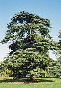 Turkish Cedar (Cedrus libani var. stenocoma) 20 Fresh Seeds