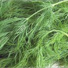 Dill Herb Seeds 250 Fresh Seeds
