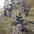 Black Hawthorn Tree (Crataegus pentagyna) 20 Fresh Seeds (Wild)