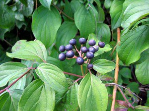 Common Dogwood Tree (Cornus sanguinea L.) 30 Fresh Seeds