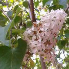 WHITE COMMON LILAC (Syringa vulgaris alba) 25 FRESH SEEDS
