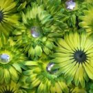 20 Green Gerber Daisy