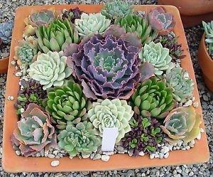 15 Desert Rose - Echeveria Seeds Mix, Fresh Exotic Flower Seeds Indoor Pot Plant