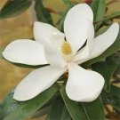 7 Magnolia Grandiflora Seeds, Fresh Exotic Rare Southern Magnolia Indoor Outdoor