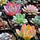 50 Desert Rose - Echeveria Seeds Mix, Fresh Exotic Flower Seeds Indoor Pot Plant
