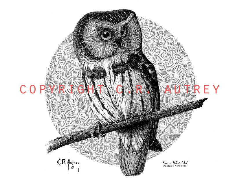Saw - Whet Owl