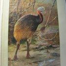 EMU (Hippalectryo Uniappendiculatus), Antique Print, 1907