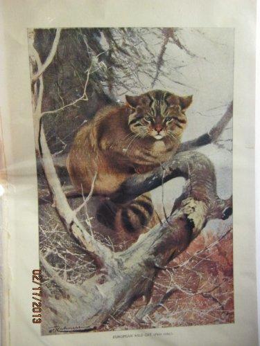 Euporean Wild Cat (Felis Catus), Antique Print, 1907