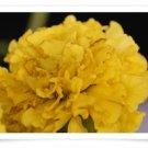 Yellow Flower Digital Image JPEG