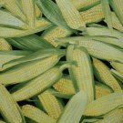 EARS OF CORN TOSSED ON BLACK B/G-TIMELESS TREASURES-F/Q-QUILTING-SEWING-CRAFTS