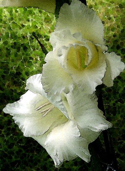 White Gladiola