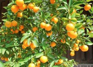 (50) Meiwa kumquat (fortunella crassiflia) seeds .