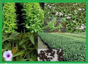 Vegetable seeds Kangkong, Water Spinach ( Rau Muong / Ong Choy ) -150 Seeds .