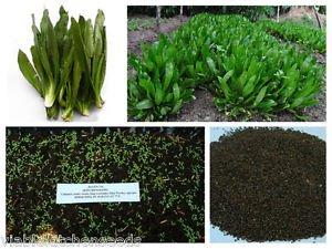 Culantro seeds, recao, long coriander,Thai Parsley, ngo gai ...5000 seeds (5g)