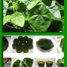 Tropical Herb Natural Green vine Jelly plant seeds Cyclea barbata,Suong sam long