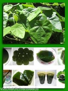 Tropical Herb Natural Green vine Jelly plant seeds Cyclea barbata,Suong sam long
