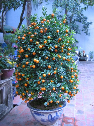 (20) Sweet Meiwa kumquat (Fortunella crassifolia) seeds .