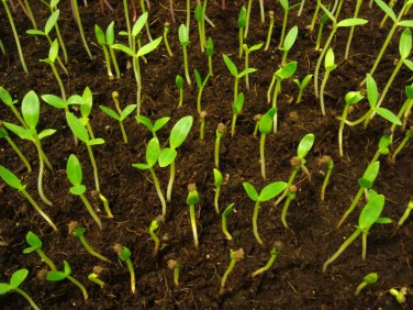Vegetable seeds malabar spinach,CeylonGreen Vine,Basella alba ( Mong Toi ) 100 s