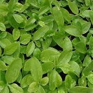 Big Leaf Type-- Green malabar spinach,,Basella alba , Mong Toi  (1000) seeds