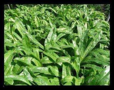 Culantro seeds, recao, long coriander,Thai Parsley, ngo gai ..10,000 seeds (10g)