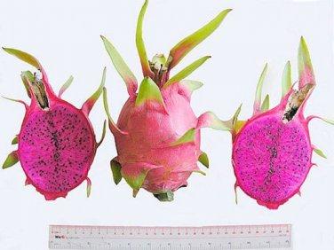 "(5) SWEET PURPLE FLESH DRAGON FRUIT,PITAHAYA CUTTING 11''-13""(not yet rooted)."