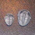 2 Cambrian Elrathia kingii Trilobite, Utah