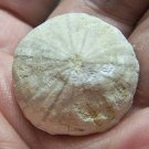 Scarce Coenholectypus planatus, Cretaceous Sea Urchin, Texas