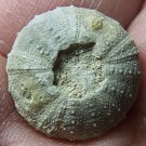 Uncommon Loriola rosana var?, Cretaceous Sea Urchin, Texas