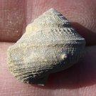 Glabrocinculum grayvillense, Gastropod, Pennsylvanian, Texas