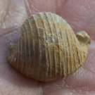 Euphemus carbonarius, Gastropod, Pennsylvanian, Texas