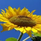 Sunflower Photo License Plate
