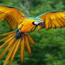 Macaw In Flight Photo License Plate